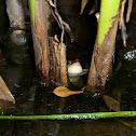 Striped Marsh Frog (Brown-striped Frog)