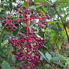 Showy Asian Grape