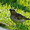 Spotted bower bird
