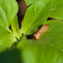 Yellow-necked caterpillar moth