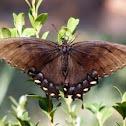 Eastern Tiger Swallowtail (female, black morph)