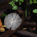 Cogumelo rendilhado
