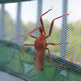 Eastern Assassin Bugs