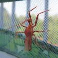 Eastern Assassin Bugs