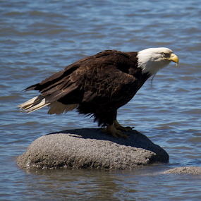 Scouting by Ava Bethlenfalvy-Pitts - Animals Birds ( alaska, feeding, eagles )