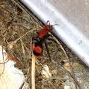 Eastern velvet ant (female)