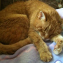 Female orange tabby cat