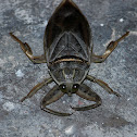 Toe-biter/ Giant water bug