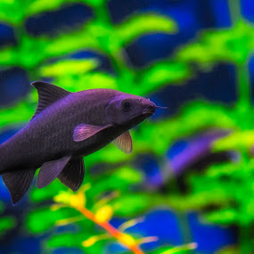 Red tail by Gerd Moors - Animals Fish ( water, red, underwater, green, fish, ftank, black,  )