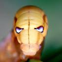Oleander Hawk-moth Caterpillar