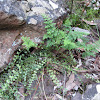 Blanket Fern & Rock Fern