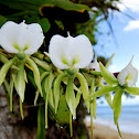 Angraecum ebuernum (orchid)