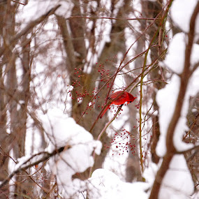 by Joe Spandrusyszyn - Animals Birds ( bird, berry, winter, cardinal, red, snow, animal, berries, cold,  )