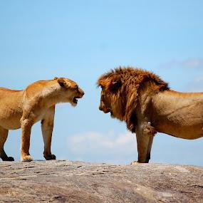 Chat on the Rock by DJ Cockburn - Animals Lions, Tigers & Big Cats ( savannah, grassland, skyline, panthera leo, pair, serengeti, plains, couple, lions, tanzania, africa,  )