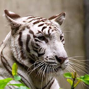 white tiger by Cecilie Hansteensen - Animals Lions, Tigers & Big Cats ( big cat, bali, animals, white tiger, tiger,  )