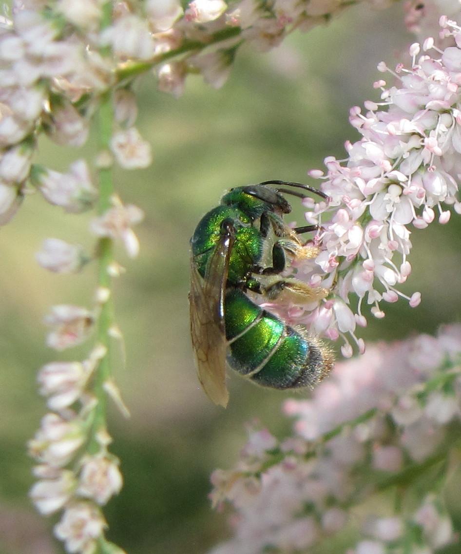 Metallic Green Bee (female)