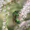 Metallic Green Bee (female)