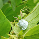 Linx Spider with Egg Sac