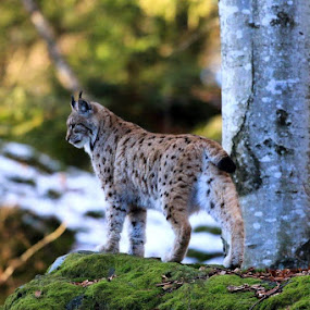 Ris....Bavarski gozd by Jani Matko - Animals Lions, Tigers & Big Cats