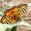 Mariposa doncella tímida