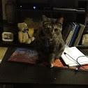 common house cat