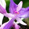 Ballerinas shoe orchid