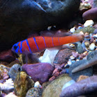 Bluebanded Goby