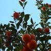 Mandarino ornamental