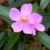 Singapore rhododendron, senduduk