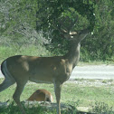 Texas White-Tail Deer