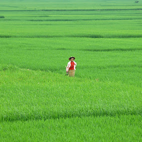 green rice field with farmer  by Razone Wane - Landscapes Prairies, Meadows & Fields ( farmers, rice field, indonesia, green )