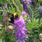Nevada Bumble Bee
