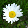 Margerite or Oxeye Daisy