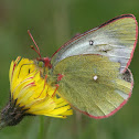 Moorland Clouded Yellow