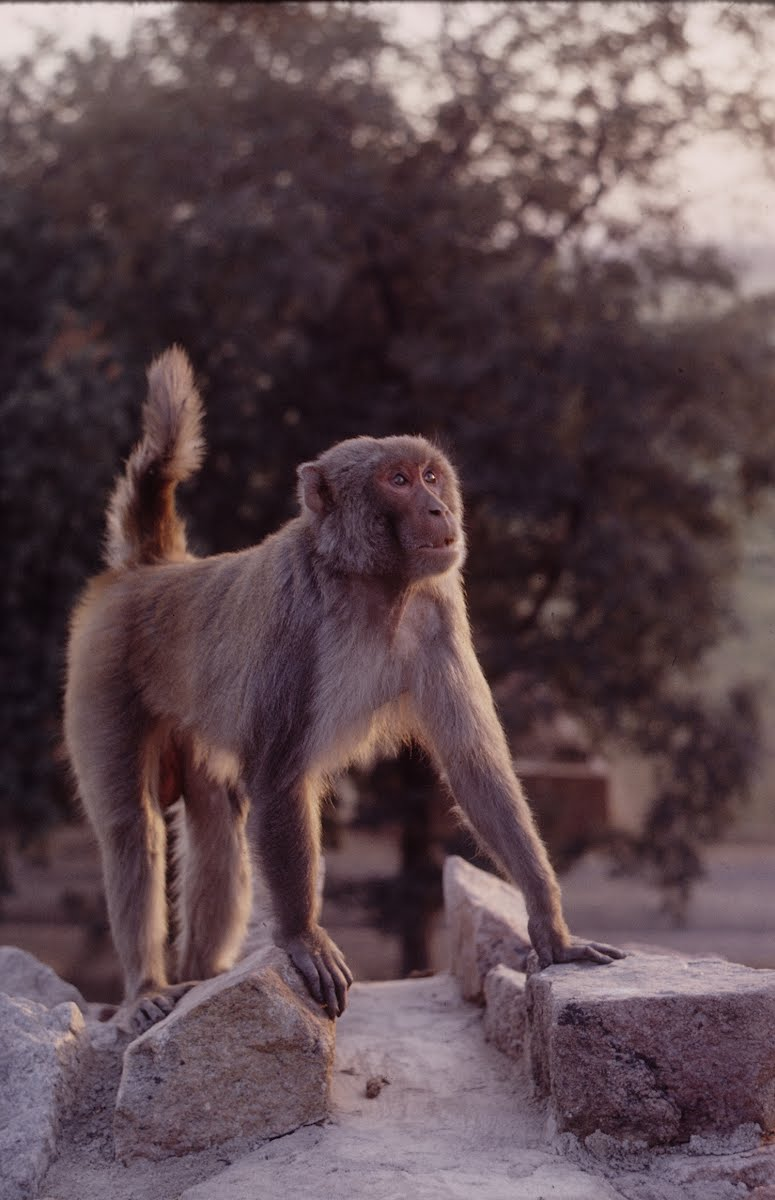 Indian Monkeys