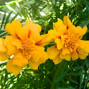 French marigold (κατηφές)