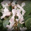 Spurflower.