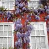 Wisteria floribunda (Glicinia morada. Wisteria)