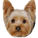 Yorkie Dog Picture Gallery icon