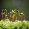 Peat Moss calyptras