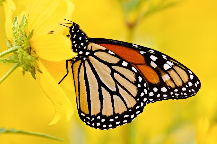 Monarch butterfly by Dan Ferrin - Animals Insects & Spiders ( monarch butterfly, butterfly, nature, wildlife, insects, insect )