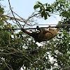 Perezoso tres uñas - Pale throated sloth