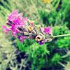 French lavender, Spanish lavender, Topped lavender / Lavanda, Alfazema