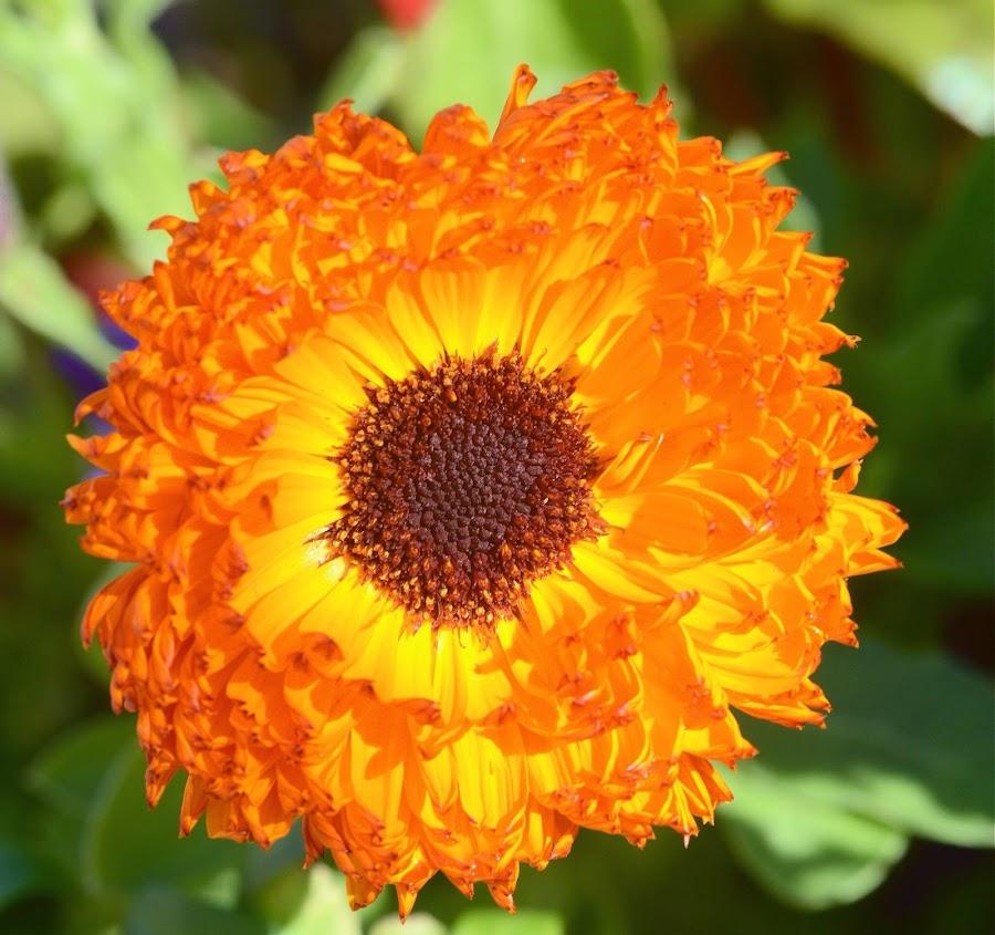 Marigold by Steve Munford - Flowers Single Flower ( nature, flora, sabot, marigold, flowers )