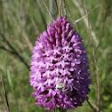 Orquídea  piramidal