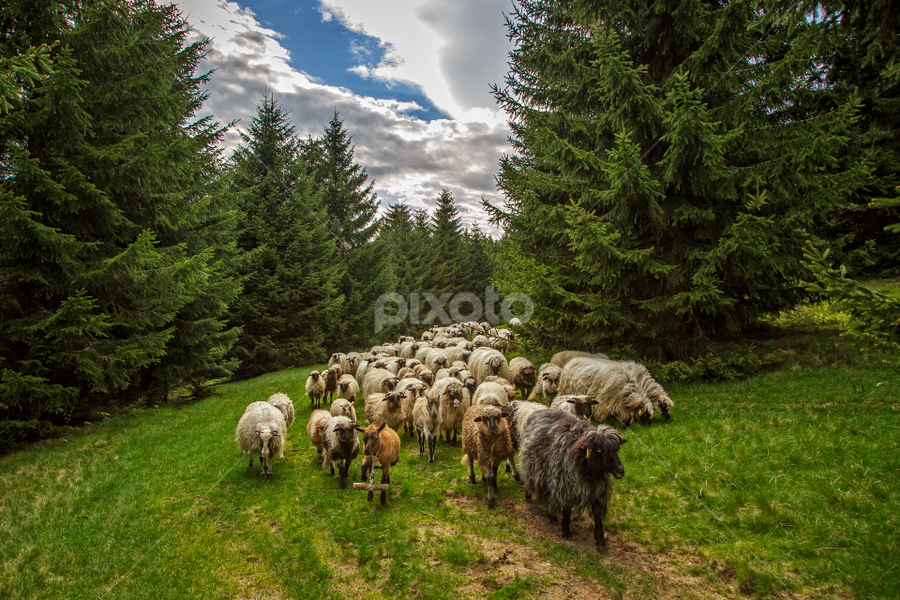 A flock of sheep going home by Stanislav Horacek - Animals Other Mammals