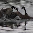 Canada Goose fight