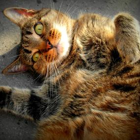 Mini by Nicola Graham - Animals - Cats Portraits ( cats, animals, portraits,  )