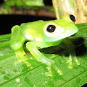Unknown Glass Frog
