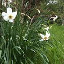 Narcisse (Fr)